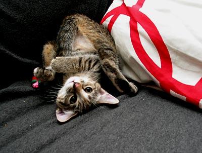 kissa pystykierteellä